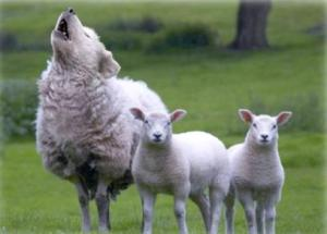 howling sheep
