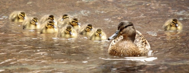 http://animals.nationalgeographic.com/wallpaper/animals/photos/national-geographic-mallard-ducks/mallard-ducks-swimming-row/
